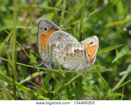 Small Heath Butterflies - Coenonympha pamphilus Pair mating