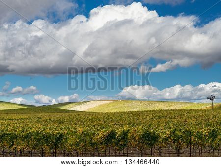 Napa Valley vineyard with white puffy clouds. Sunny day in a Napa vineyard. Rolling hills of lush yellow and green grapevines in autumn. Bright blue sky and white clouds.