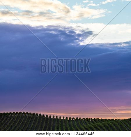 Colorful clouds over rows of Napa California vineyards at sunset. Vibrant sunset of pink purple and blue clouds in Napa Valley wine country. Rows of green grapevines on the horizon of a hill.