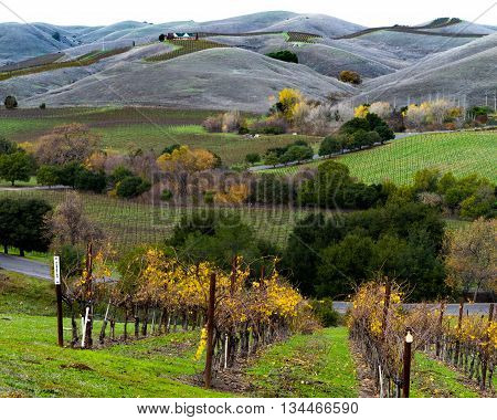 Autumn colors and rolling hills in a Napa Valley California vine. Vibrant yellow grapevines green trees and hills in Napa wine country. Albarino vines at harvest time.