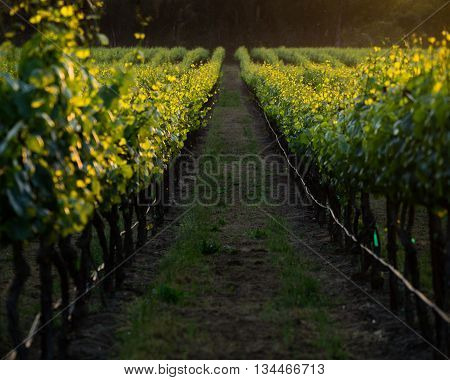 Golden vines of a Napa vineyard row at sunset. Looking down a Napa vineyard row at golden hour in the summer. Lush grapevines glow yellow from the sun.