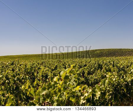 Clear blue sky over Napa Valley vineyard hills. Simple scenery of a Napa vineyard. Rolling hills of lush green grapevines in summer.