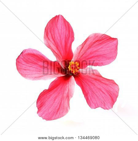 Blossoming red flower of treelike Hibiscus with two petals on pestle stamens and leaves isolated on white