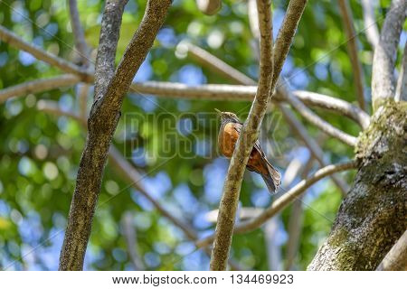 Small Rufous-bellied Thrush perched on tree branch
