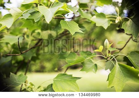 Green spring tree leaves in sunshine natural background