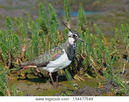Northern lapwing (Vanellus vanellus) standing in mud with vegetation in the background