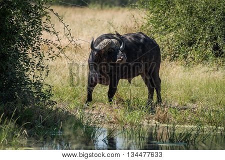 Cape buffalo at water hole turning head