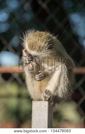 Vervet Nonkey On Fence