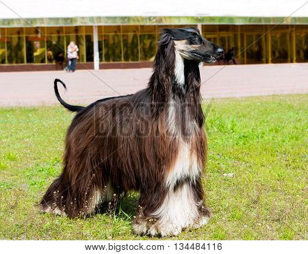 Afghan Hound profile. The Afghan Hound is on the green grass.