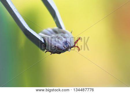 Insect inflated with blood the tick is pulled out metal tongs