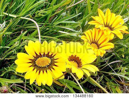 Blooming yellow Gazania in Ramat Pinkas near Or Yehuda Israel