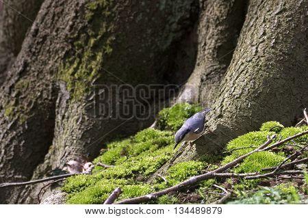 Eurasian Nuthatch (sitta Europaea) On The Bottom Of A Tree