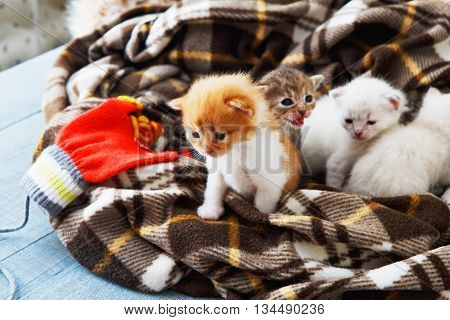 Kittens and mittens. White, ginger and grey newborn kittens in a plaid blanket. Sweet adorable tiny kittens on a serenity blue wood play with cat toy and mittens. Funny kittens crawling and meowing poster