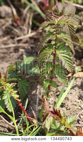 Young Pinnate Leaves Of Mead Wort (filipendual Ulmaria)
