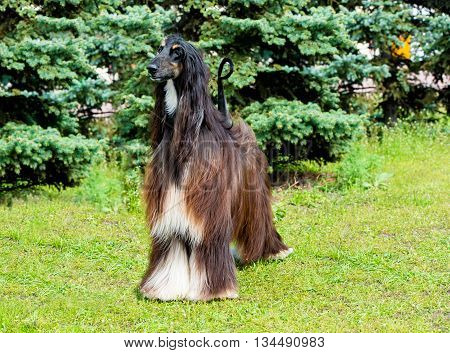 Afghan Hound stands.  The Afghan Hound is on the green grass.