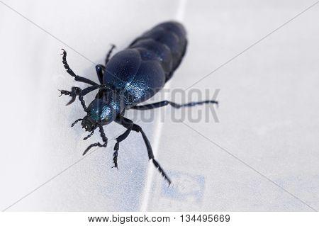Macro Of The Violet Oil Beetle (meloe Violaceus)