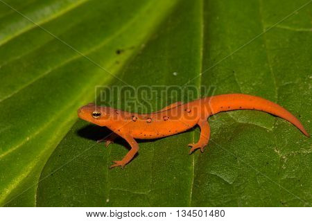 A Red Eft isolated on a skunk cabbage leaf.