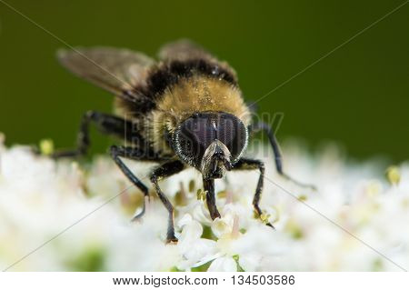 Volucella bombylans var plumata hoverfly. Excellent bumblebee mimic in the family Syrphidae nectaring on hogweed poster