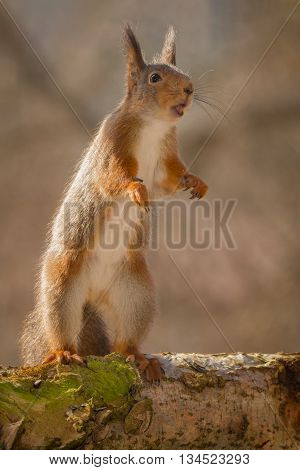 red squirrels standing on tree trunk with moss on mouth open