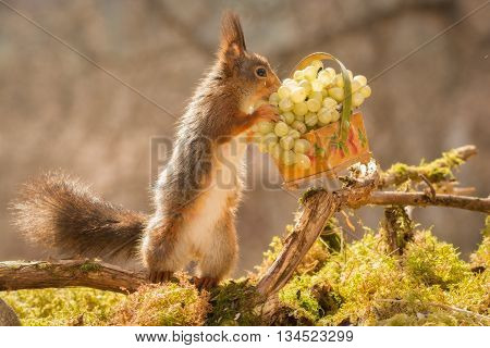 red squirrel standing with basked and grapes