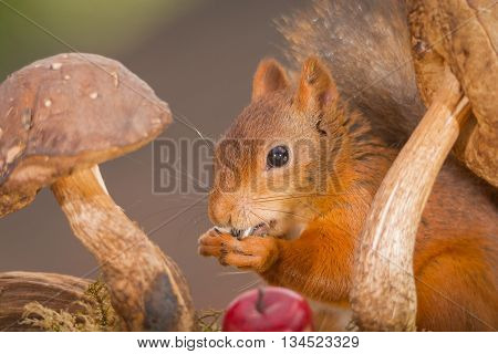 close up of red squirrel standing between mushrooms