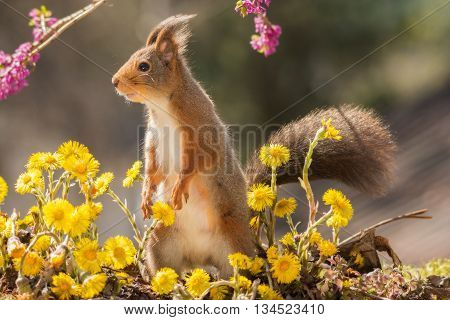 red squirrel surrounded by yellow flowers standing up
