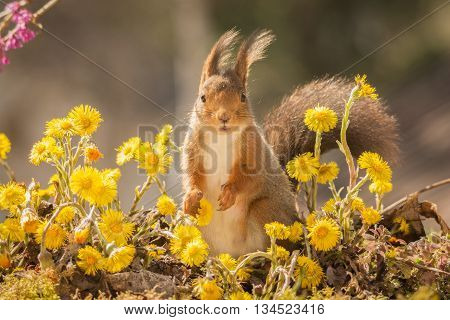 red squirrel profile standing on moss between yellow flowers looking in the lens