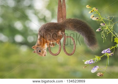 red squirrel hanging on scissors up side down