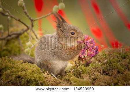 red squirrel standing on moss eating a lila flower