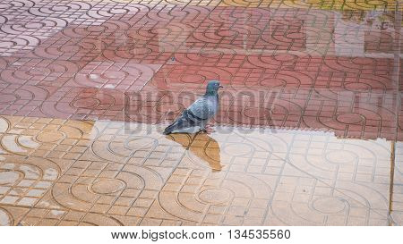 rock dove bird on the water walking street