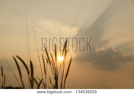 beautiful poaceae ,grasses in the meadow during the sunset.