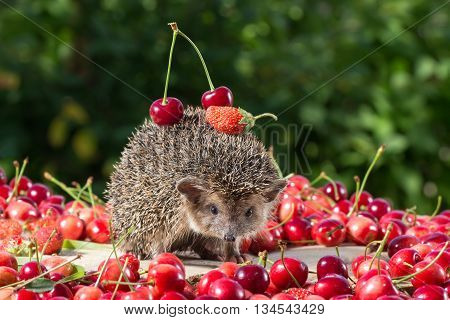 cute young hedgehog Atelerix albiventrisamong the berry on green leaves background carries cherry and strawberry on the back