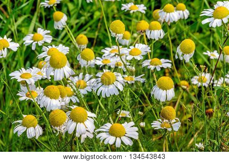 Close-up of yellow and white blossoming German chamomile in a blurred natural background. It is a sunny day in the summer season.