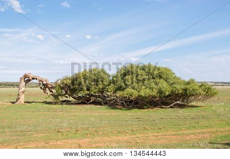 Windswept leaning tree of Greenough with bent tree trunk and horizontal display with green grass and blue skies in the Western Australian landscape.
