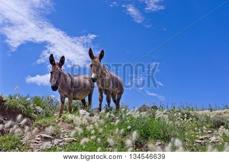 Grey donkeys in the Bolivian countryside, South America
