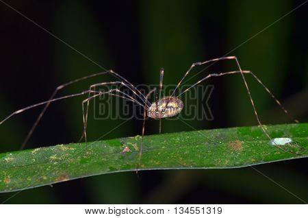 daddy long legs aka harvestman on a grass blade