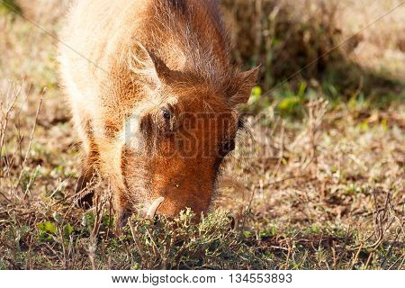 Face In The Ground - Phacochoerus Africanus  The Common Warthog