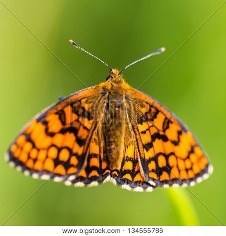 Portrait of knapweed fritillary (Melitaea phoebe) butterfly with green background