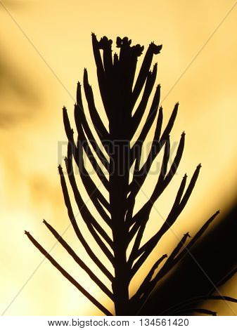 A silhouette of a beautiful cactus in the desert in the dusky light after sunset.