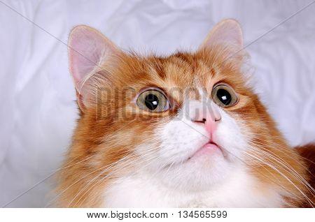 Head red-headed cat looking up very focused closeup