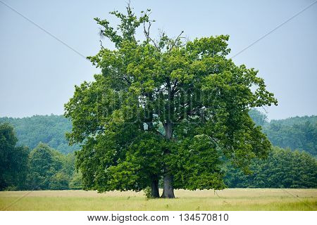 Big old oak tree on a meadow with forest behind