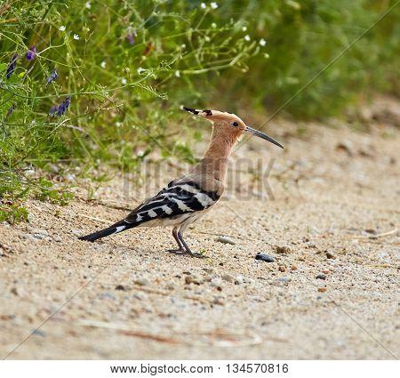 European Hoopoe Bird