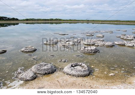 Oldest living marine fossils, stromatolites, in the Lake Thetis landscape bordered by plants under an overcast sky in Western Australia. poster