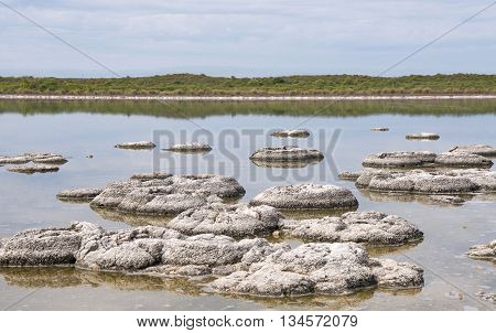 Cluster of stromatolites in the Lake Thetis landscape with native flora under an overcast sky in Western Australia. poster