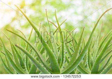 a gelatinous substance obtained from a kind of aloe used especially in cosmetics as an emollient and for the treatment of burns.