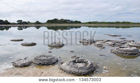 Rare living marine fossils, stromatolites, in the Lake Thetis landscape with sand under an overcast sky in Western Australia.