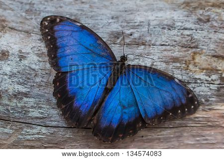 portrait of blue morpho butterfly (Morpho peleides)