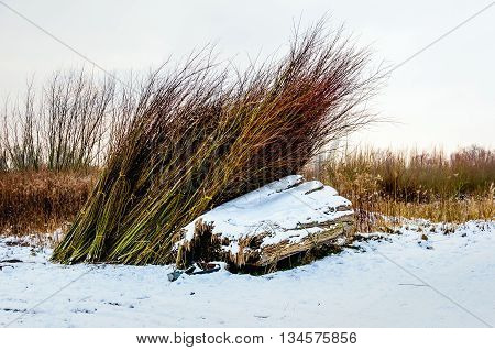 Bundles of cut osiers in a Dutch natural landscape covered with a layer of snow. It is winter now.