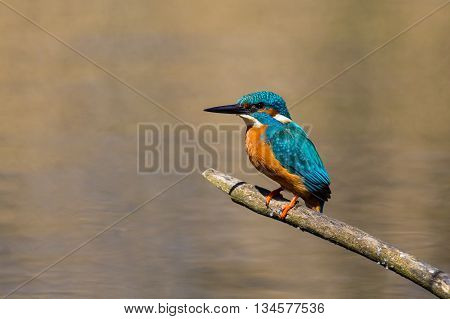 Male common kingfisher (Alcedo atthis) sitting on a tree branch