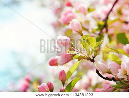 A closeup of beautiful pink cherry blossom flowers in a tree with a blurred background area.